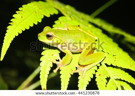 The leaf green tree frog is a species of stream-dwelling frog, native to eastern Australia from the Queensland/New South Wales border south to Sydney. - stock photo