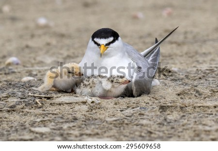 The Least Tern (Sternula antillarum) at the nest with chicks, Galveston, Texas, USA. - stock photo