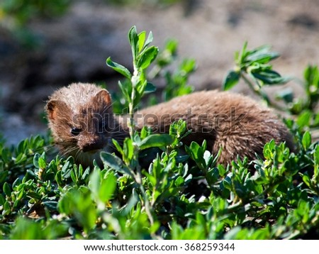 The least weasel in the vegetation - stock photo