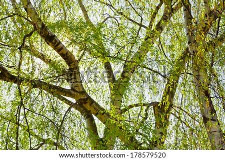 The leaves and branches of trees in spring. Spring landscape. - stock photo