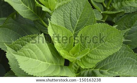 The leaves of hydrangea - stock photo