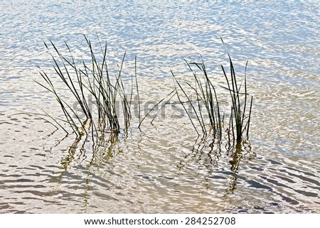 The leaves of reeds in the water of a lake or river - stock photo