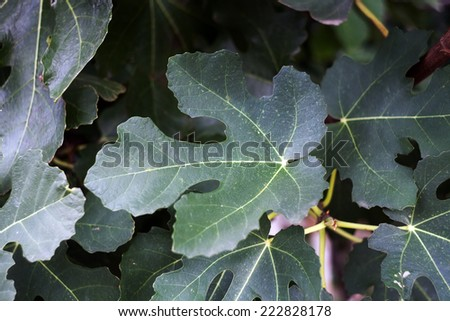 the leaves of the figs tree