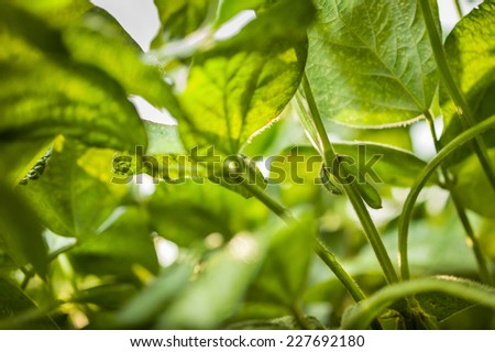 The leaves of young soybean pods on a farmers field on sky background - stock photo