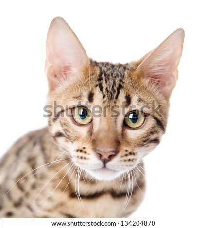 The leopard cat (Prionailurus bengalensis). isolated on white background - stock photo