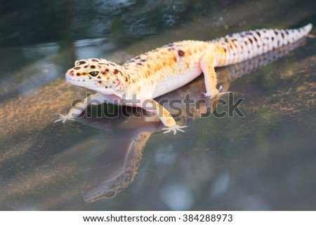 The leopard gecko is an attractive little lizard that native to the deserts of Pakistan. Image has grain or noise and soft focus when view at full resolution. (Shallow DOF, slight motion blur )