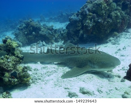 The Leopard shark lying on the sandy bottom in between the corals