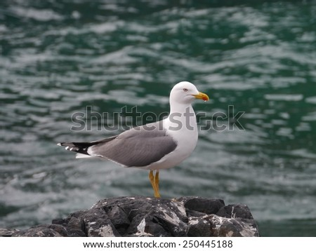 The lesser black backed gull (Larus fuscus) on the rocks of the island Fuerteventura one of the Canarian island belonging to Spain in the Atlantic Ocean - stock photo
