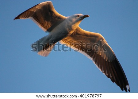 The Lesser Black-backed Gulls majestic flight. This Black-backed Gull flies into the sunset