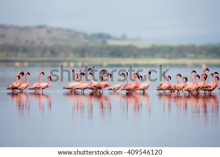 The Lesser flamingo, which is the main attraction for tourists  - stock photo