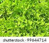 the lettuce - stock photo