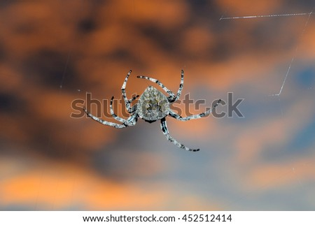 The life of spiders. Spider at sunset traps its prey. - stock photo