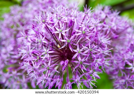 the lilac bright flower blossoms in a garden close up - stock photo