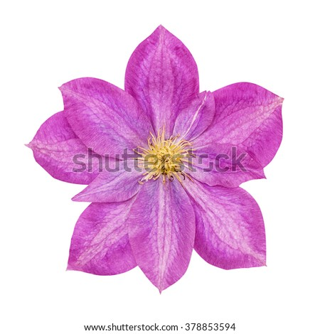 The lilac flower with yellow stamens isolated on the white