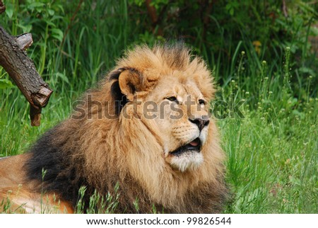 The lion is one of the 4 big cats in the genus Panthera, and a member of the family Felidae. With some males exceeding 250 kg in weight, it is the second-largest living cat after the tiger. - stock photo