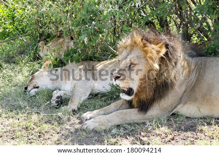 The lion is one of the four big cats and belongs to genus Panthera - stock photo