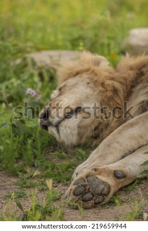 The Lions Paw, emphasizing the size and power of a male lions paw while he sleeps - stock photo