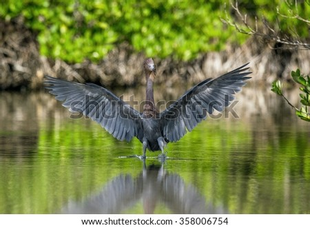 The little blue heron (Egretta caerulea) fishing. Cuba - stock photo