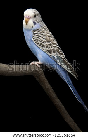 the little blue parrot is on a branch - stock photo