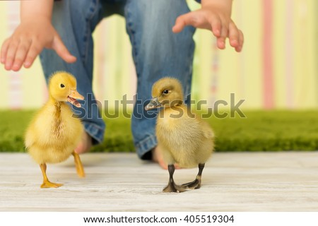 The little boy runs and tries to seize the running-away ducklings of yellow and black color - stock photo