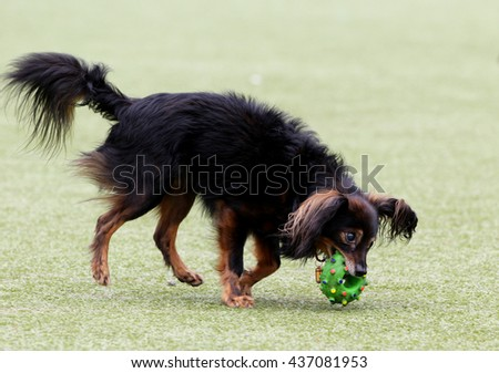 The little dog on walk plays with a ball