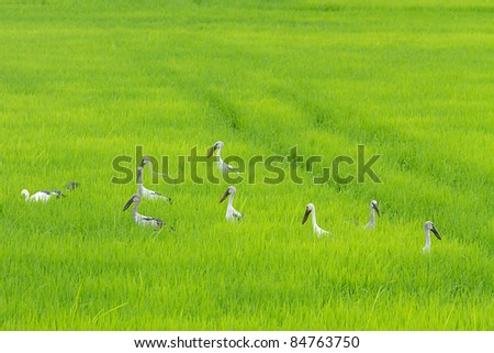 The Little Egret in Cornfield, Middle of Thailand