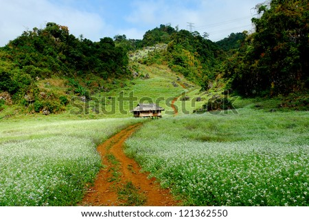 The little house in white rapeseed flower field in Moc Chau dicstric, Son La province, Vietnam - stock photo