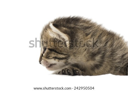 the little kitten isolated on white.