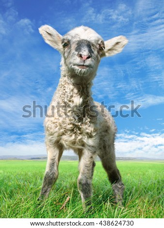 The little mindful sheep - stock photo