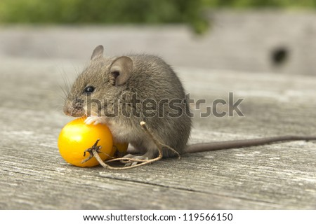 The little mouse sitting on the tomatoes - stock photo