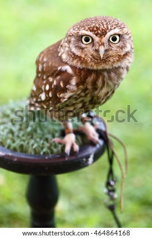 The Little Owl, Athene noctua, in captivity. The species is widespread throughout Europe