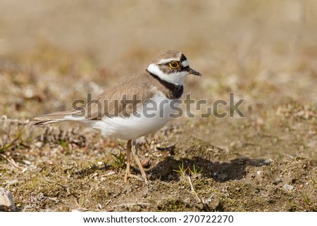 The little ringed plover (Charadrius dubius)  - stock photo