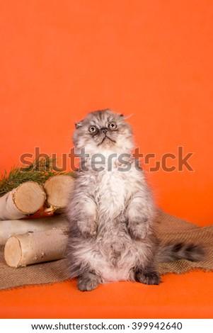 The little Scottish Fold kitten on orange background - stock photo