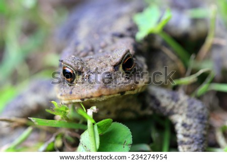 The little Toad - stock photo