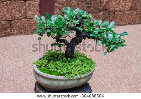 the little tree - Bonsai - stock photo