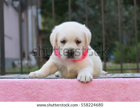the little yellow cute labrador puppy sitting on pink background