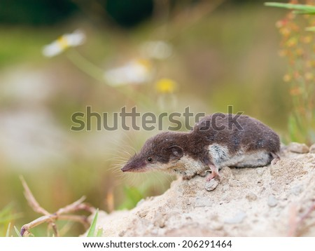 The Locally Endangered Bicolored Shrew (Crocidura leucodon) in it's Natural Habitat - stock photo