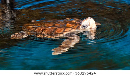 The loggerhead sea turtle, or loggerhead, is an oceanic turtle distributed throughout the world. It is a marine reptile, belonging to the family Cheloniidae - stock photo