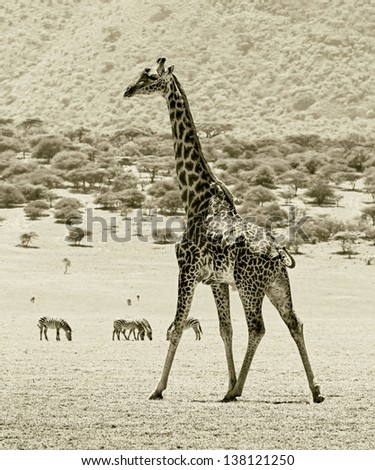 The lone male maasai giraffes in Crater Ngorongoro National Park - Tanzania, Eastern Africa (stylized retro) - stock photo