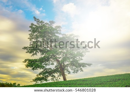 The lonely big tree in the tea farm land in the morning or evening with the nice sky and cloud to show the nice contrast between sky background and tree branch with the light flare.