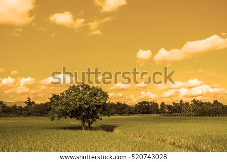 The lonely mango tree in the rice field by sepia style.