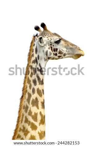 The long neck of a Giraffe (Giraffa camelopardalis) on a white sky as background. Its long neck is a chief distinguishing characteristic of this animal