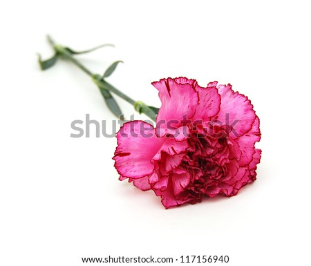 the long stem carnations gift - stock photo