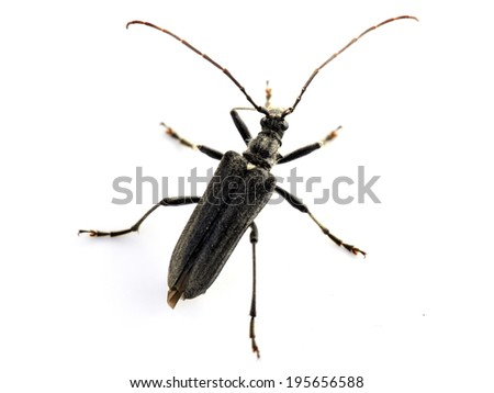 The longicorn beetle Oxymirus cursor male on white background - stock photo