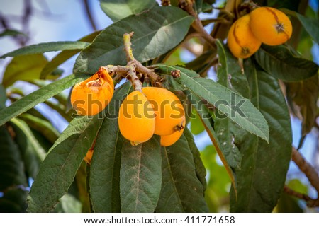 The loquat or Eriobotrya japonica is a evergreen plant with yellow fruits, It is also known as Japanese plum and Chinese plum - stock photo