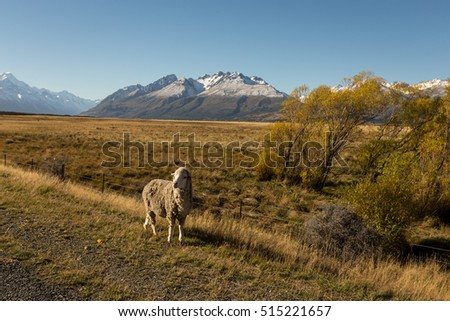 the lost lamb feeling lonely on the road in the autumn with clear sky ,noon light and snow of mountain background