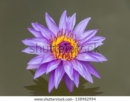 The lotus color purple on water for design or decorate project.