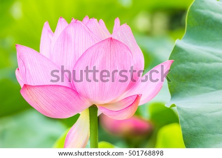 The Lotus Flower.Background is the lotus leaf.