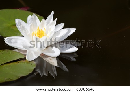 The lotus flower in the peaceful pond