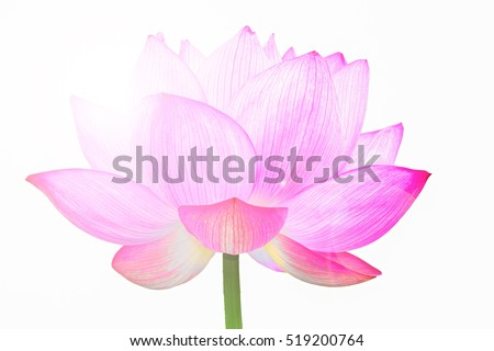 The Lotus Flower.White Background.